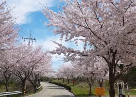 사량도 벚꽃사진